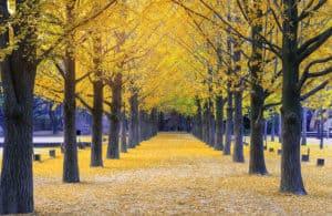 nami island south korea autumn trees